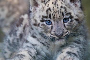 snow leopard information