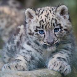 2019 04 snow leopard drtv