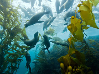 Seals swimming in kelp