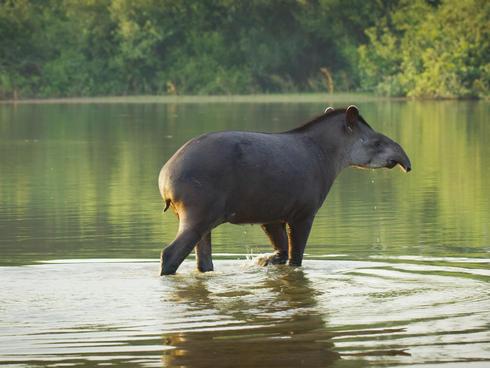 Lowland tapir