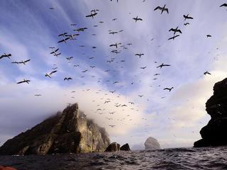Seabirds flying near the Shiant Isles, Scotland.