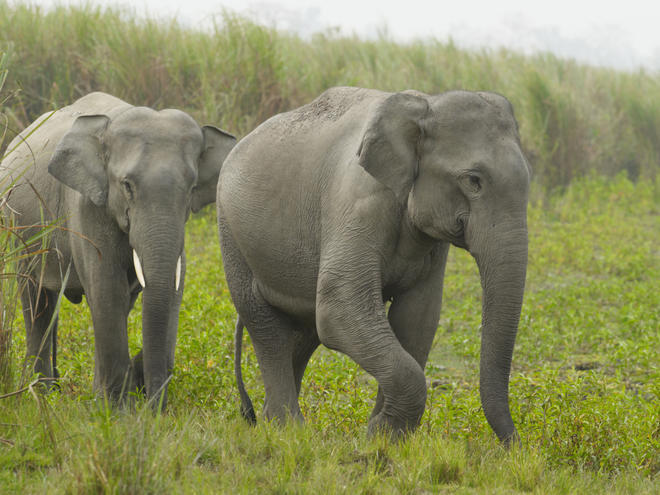 what is a indian elephant diet