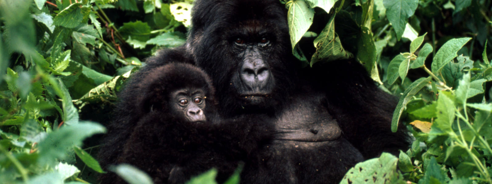 African mountain animals - Gorillas New Hero Image