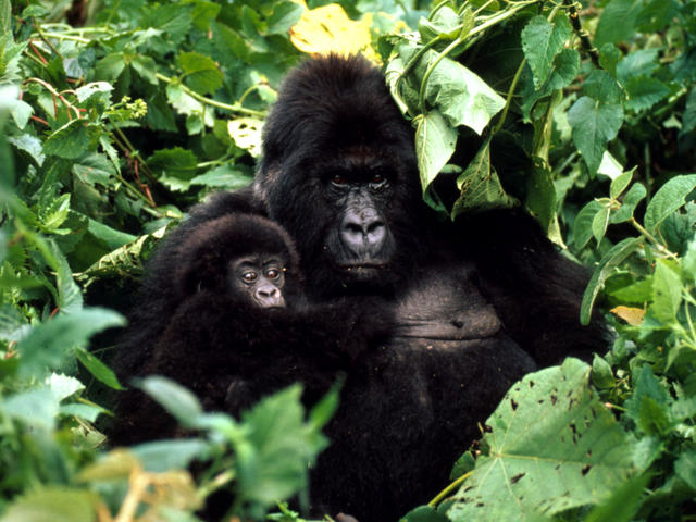 Image result for Mountain Gorilla