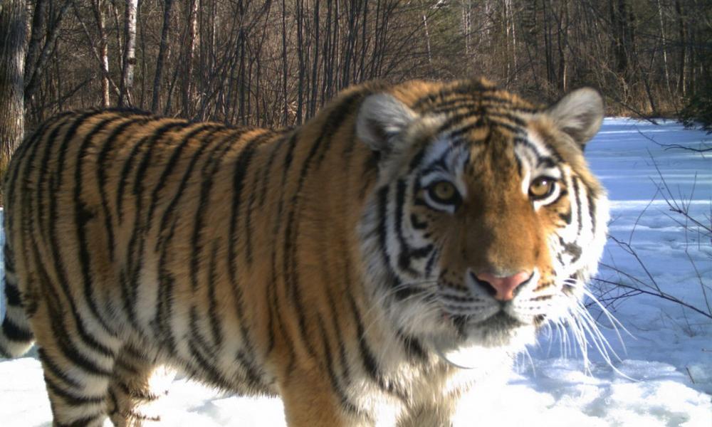 Cinderella tiger Russia