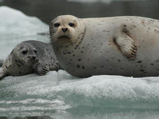 lake iliamna mom and pup seal
