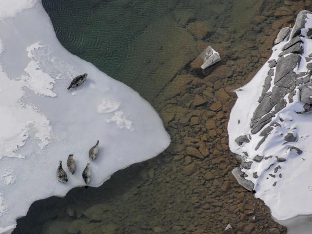 close up overhead harbor seals lake Iliamna