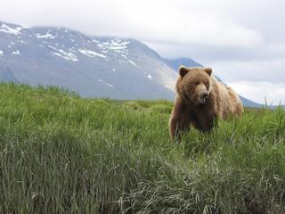 brown bear alaska