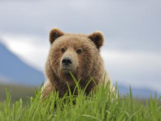 brown bear near pebble mine