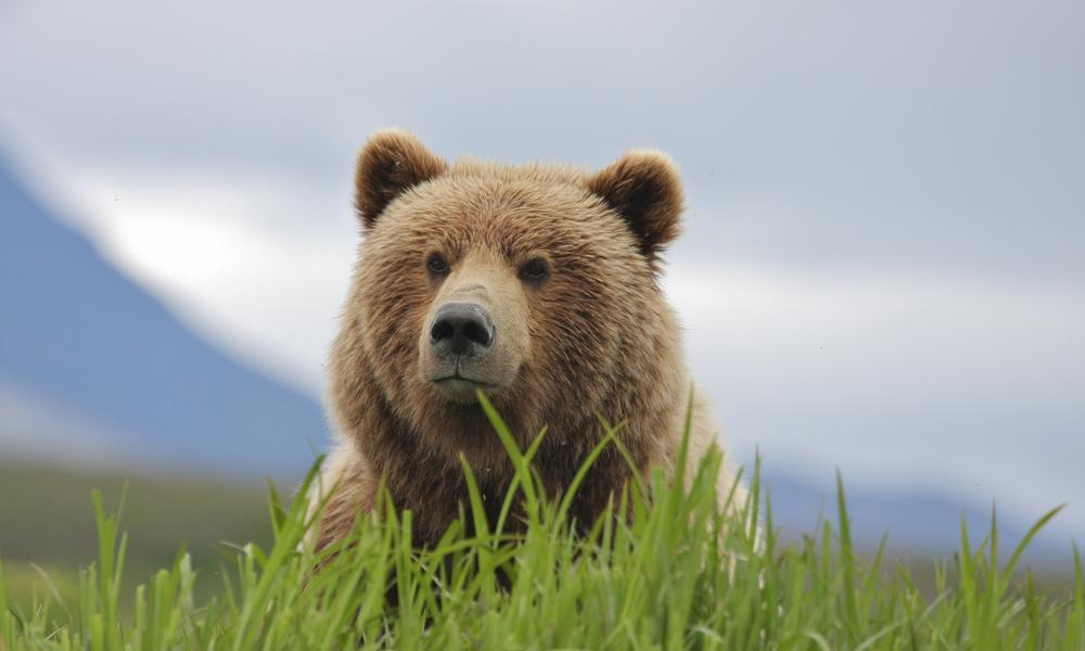 brown bear near pebble mine