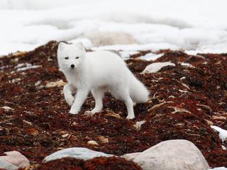 arctic fox WW266664 Donna Pomeroy