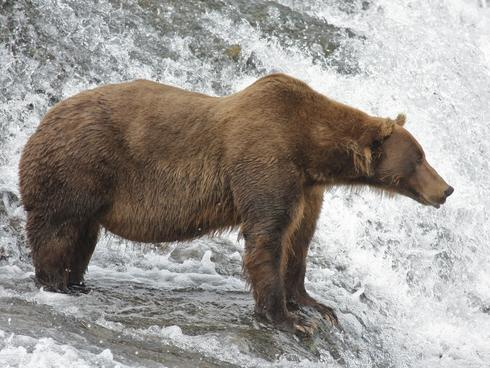 alaskan brown bear Drew Hamilton