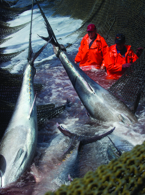 Atlantic Bluefin Tuna in fishing net
