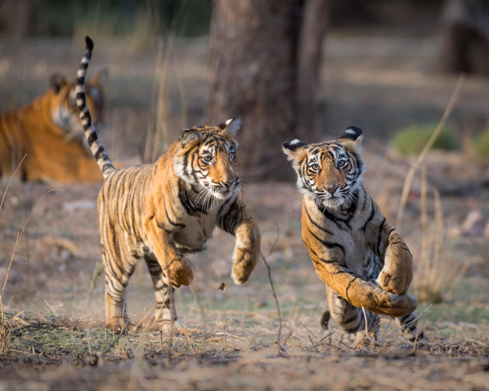Two young tigers (Pantera tigris) at play