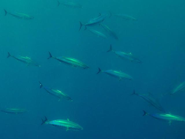 school of skipjack tuna