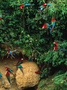 Macaw Flock Peru