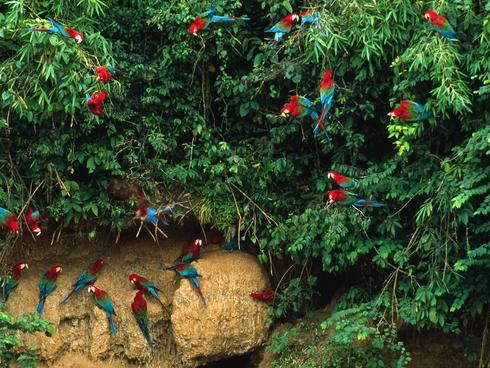 macaw flock peru WW129413 André Bärtschi