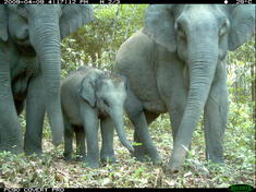 Asian_elephant_8.12.2012_why_they_matter-mid_287451