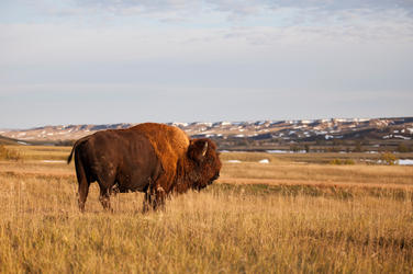 Northern Great Plains Bison