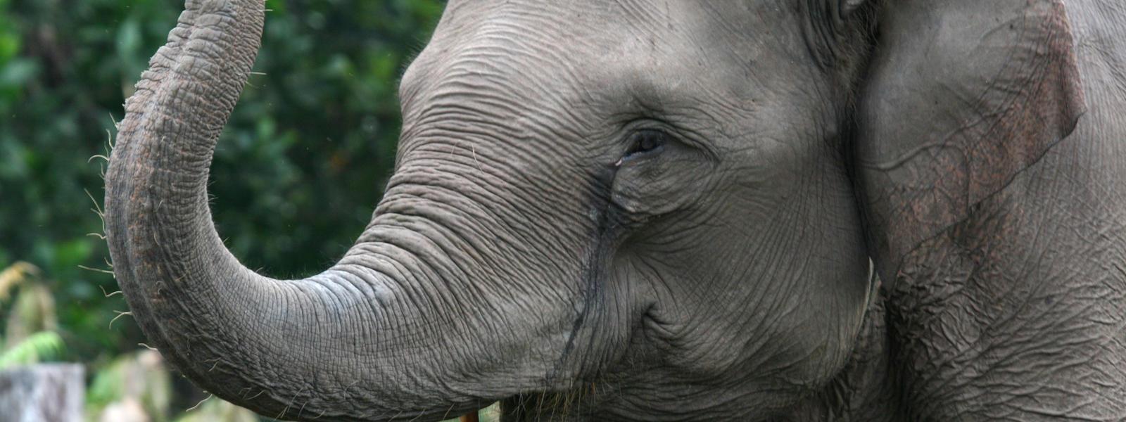 Elephant Species Wwf