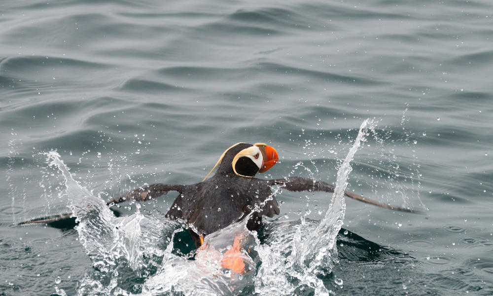 tufted puffin WW247867 McDonald Mirabile