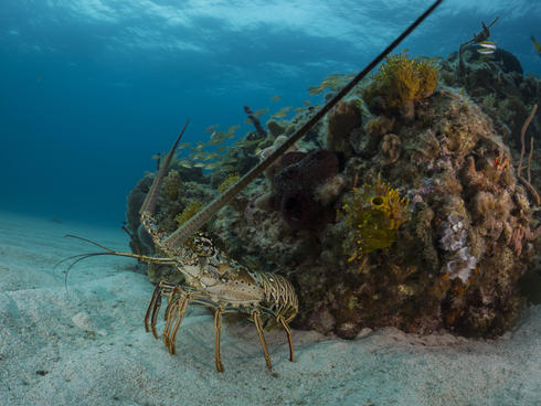 bahamas spiny lobster WW1103804 Mac Stone