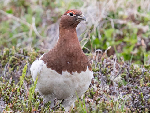 willow ptarmigan summer Mick Thompson/Eastside Audubon
