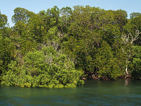 A mangrove forest in Kenya