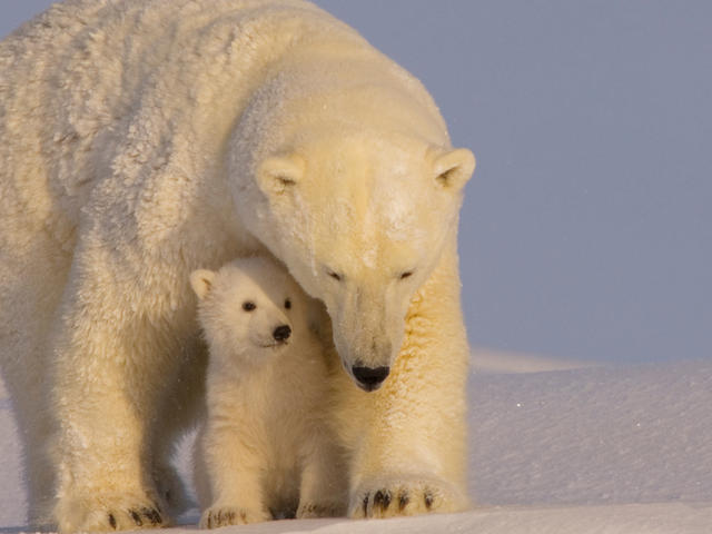 Polar-bear-with-cubs-in-Arctic-Wildlife-Natl-Refuge