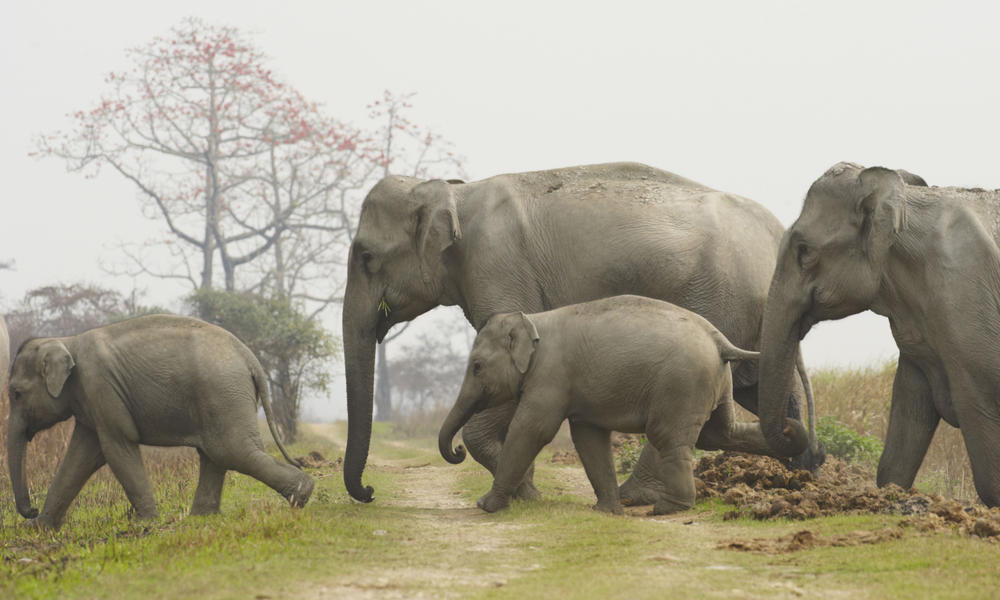 Asian Elephants and Cl...