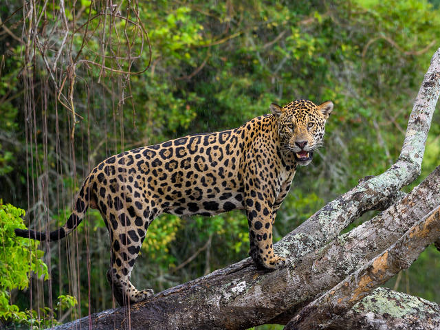 WWF Jaguars and Wildlife of Brazils Pantanal Expedition - Jaguar in the rain
