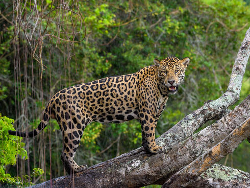 Jaguars & Wildlife of Brazil's Pantanal
