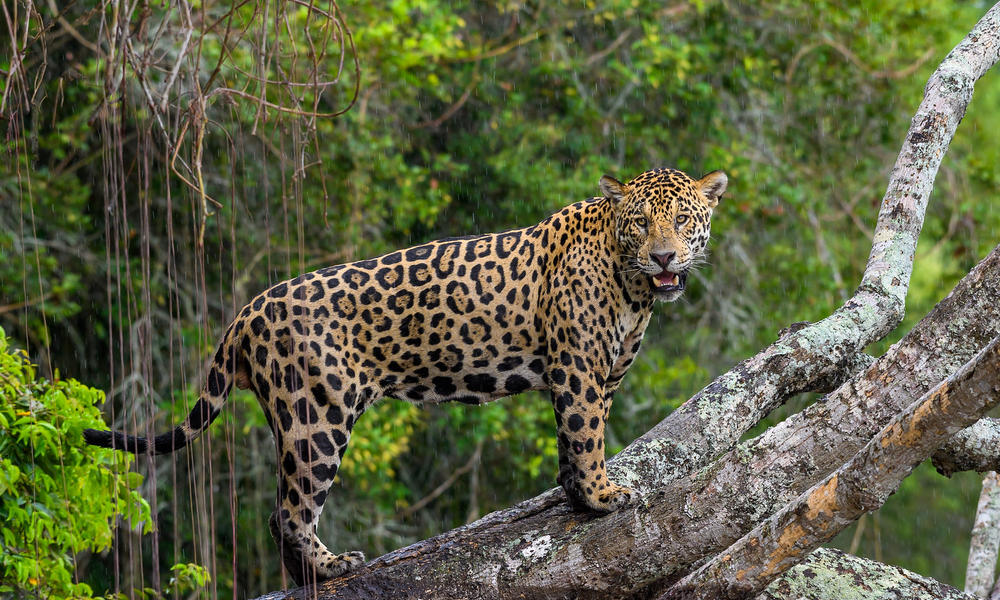 WWF Jaguars and Wildlife of Brazils Pantanal Expedition - Jaguar in the rain