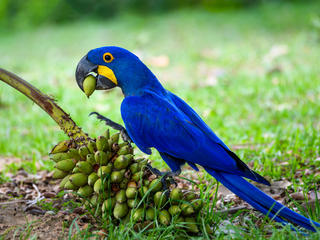 WWF Jaguars and Wildlife of Brazil's Pantanal Expedition - Hyacinth Macaw