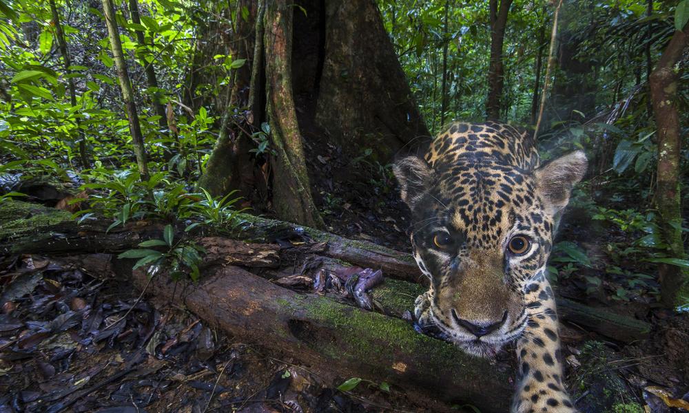 Camera trap high resolution jaguar photo