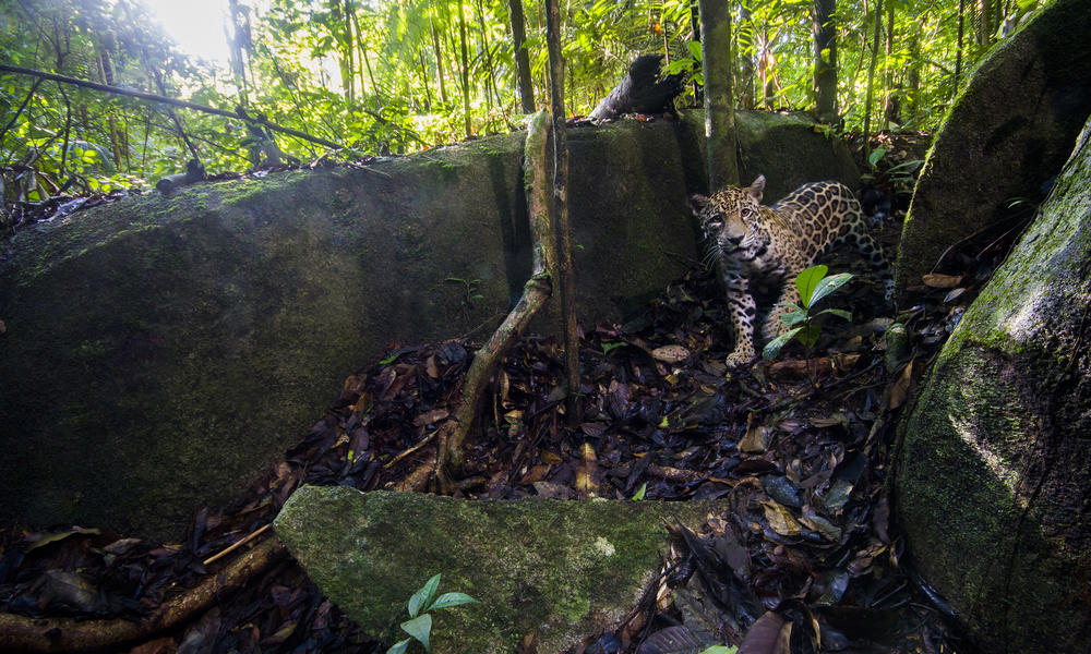 Camera trap high resolution jaguar photo