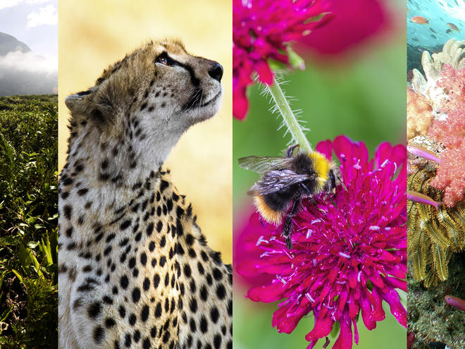 Wild Classroom Biodiversity Toolkit montage of landscape of Restinga ecosystem, cheetah profile, a heath humble-bee on flower, and coral reef of Fiji