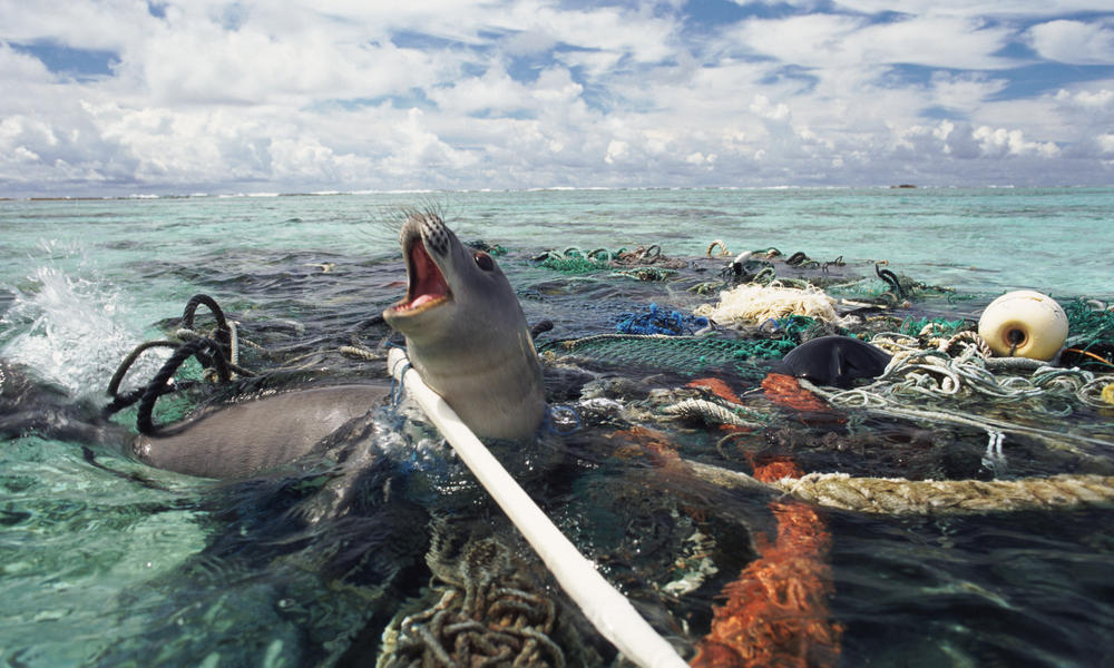 Hawaiin monk seal caught in ghost fishing gear