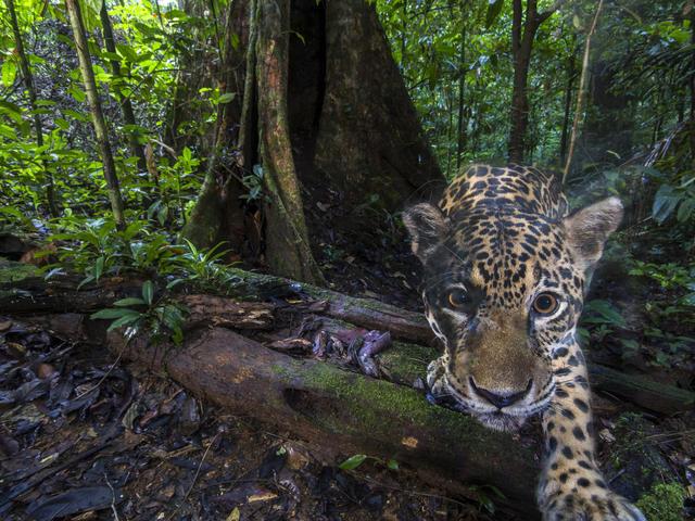 jaguar close WW2120938 Emmanuel Rondeau