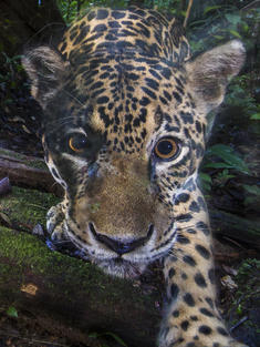 Jaguar close-up