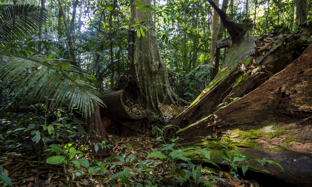 jaguar in nature reserve WW2120935 Emmanuel Rondeau