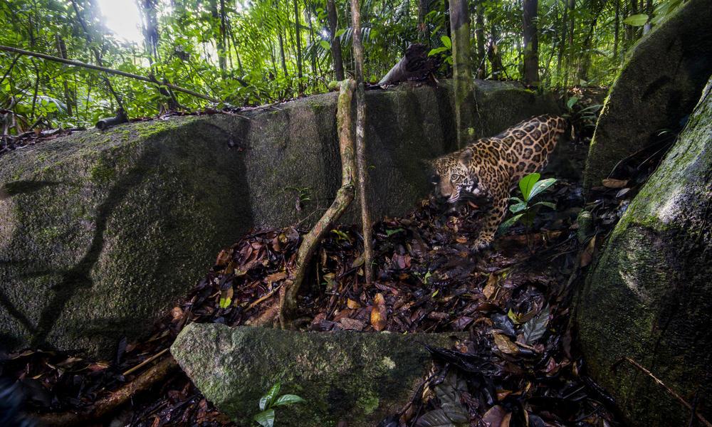 jaguar WW2120939 Emmanuel Rondeau
