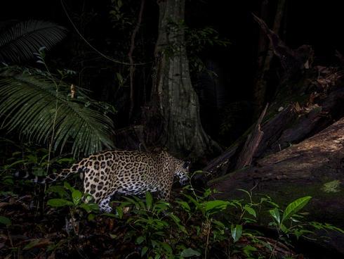 jaguar WW2120941 Emmanuel Rondeau