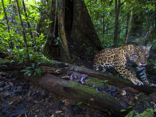 A jaguar caught by a camera trap