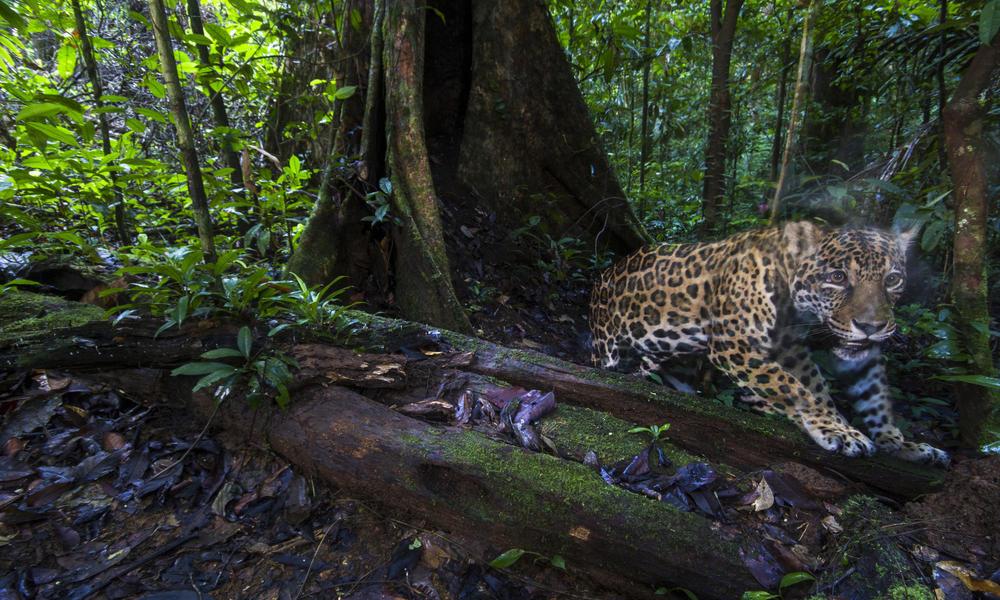 jaguar WW2120936 Emmanuel Rondeau