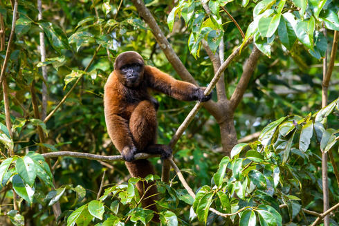 Samiria Brown woolly monkey