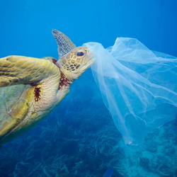 A turtle swims toward a plastic bag