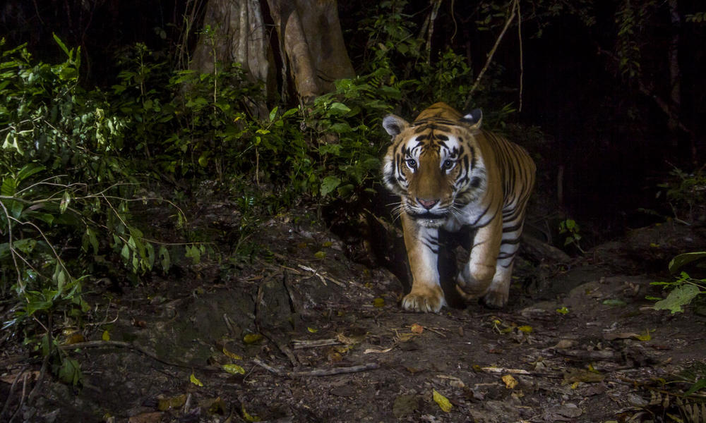 Tiger caught on camera trap in Nepal