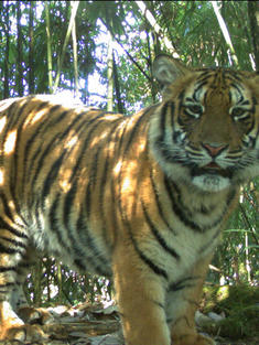 Tiger captured on camera trap in Bhutan