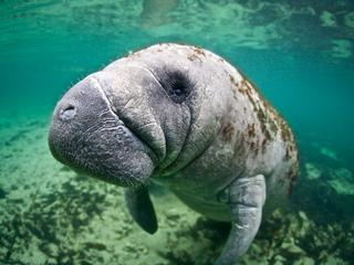 florida manatee WW2122266 Vincent Kneefel